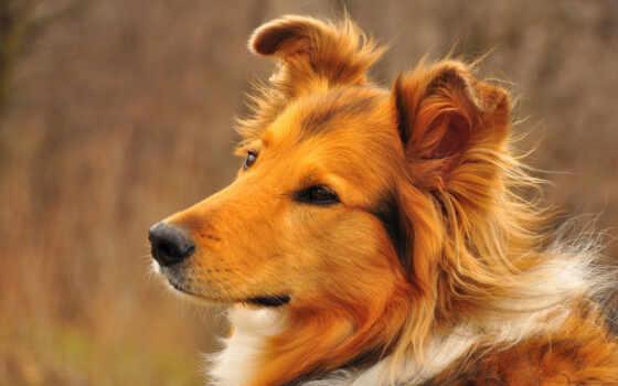колли, породы, собак