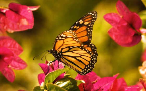бабочка, цветы, макро