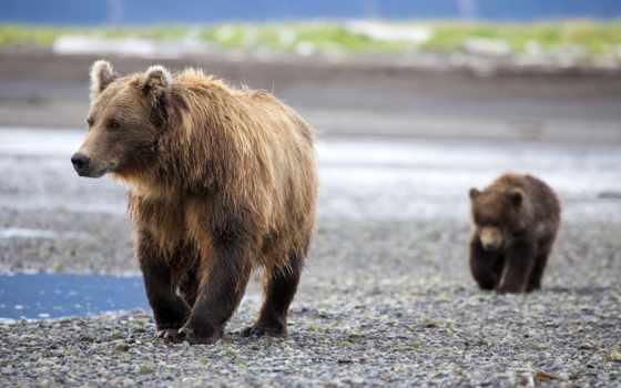 медведи, нашем, сайте, windows, семья,