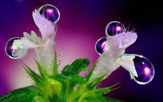 cvety, капли, макро, water, роса, за, плюмерия, цветы,