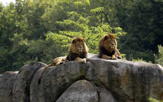 lions, animals, rocks, lion, rock,