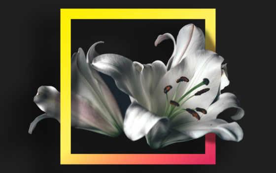 white, black, фон, flowers, free, цветы, lily, фото, stock,