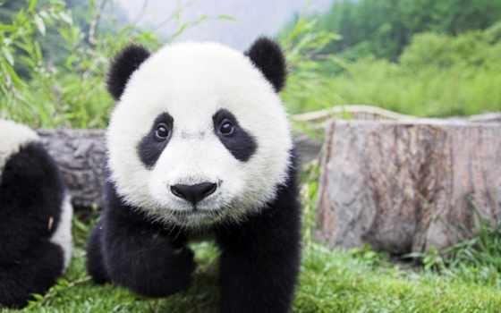 панд, панды, фотоохота