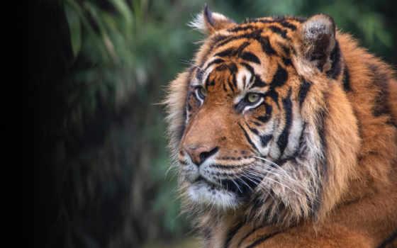 картинка, тигр, смотреть, фон, глаза, dark, portrait