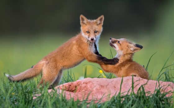 лисенок, фокс, взгляд, трава, game, animal, red, narrow, хороший, собака