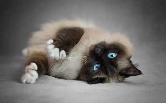 кот, сиамский, blue, глаз, пушистый, ragdoll, pet, браун, animal, родословная