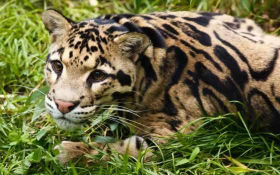 panthère, nébuleuse, леопард, images, free, pour, une, ест,