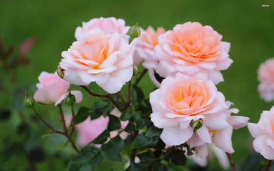flowers, цветы, роза, full, free,