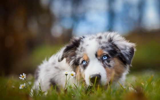 овчарка, австралийская, собаки, собака, aussi, blue, собак, dogs, description, милые,