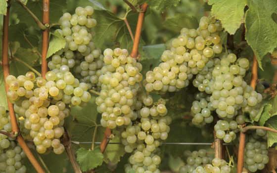 винограда, виноград, сорта, white, сорт, очень, грозди, сортов, белого, маленькие,