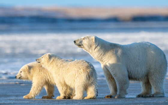 медведь, polar, animal, снег, животные, кросс, детёныш, grizzly, два, baby