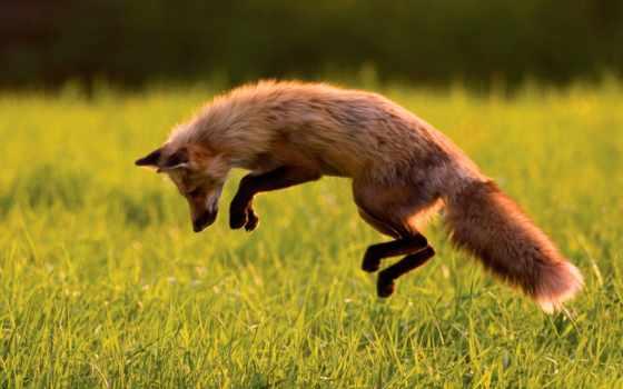 прыжок, лиса