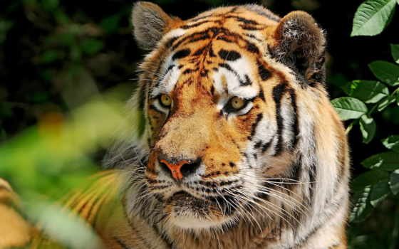 тигр, amur, усы, морда, взгляд,