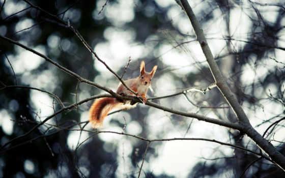 белки, дерево, ветки, zhivotnye, tail, боке, сидит, уши, белочка,