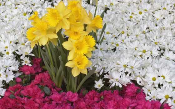 ромашки, цветы, нарциссы