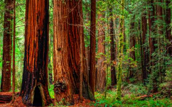 лес, redwood, california, bay, redwoods, площадь, state, national, trees, lantern,