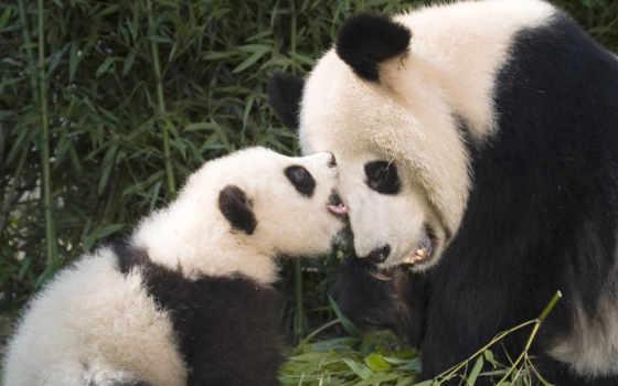 панда, панды, яndex, забавные, детенышем, милые, коллекциях, коллекция, большой, кунг, boo,