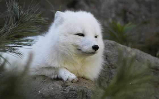 lobos, pantalla, zorro