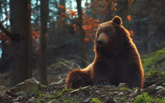 fore, поза, медведь, white, sit, браун, mikhaylo, potapych, hardwood, northern