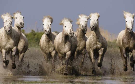 лошади, стадо, лошадей