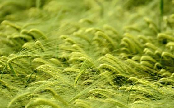 поле, пшеница, колоски, browse, макро, зеленое,