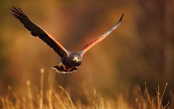 flying, птица, hawk