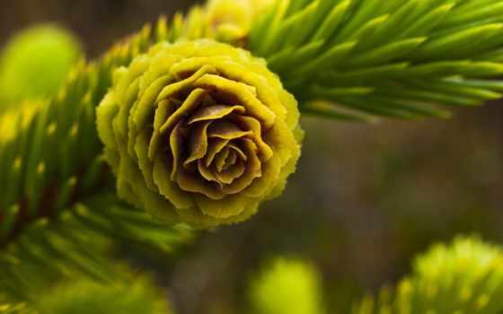 ёль, cone, branch, cvety, свет, макро, дерево, зелёный,