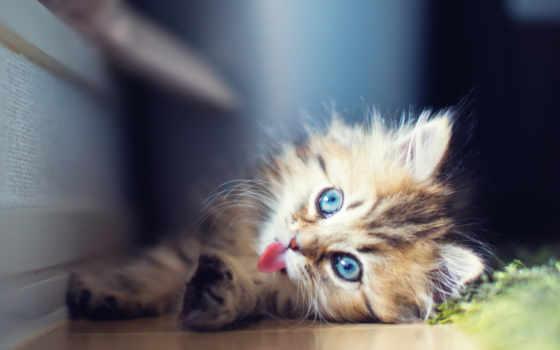 кошки, котята, zhivotnye, забавные, милыми, качества, прекрасного, малышами, разного, окраса, породы,