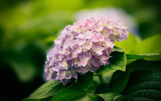 гортензия, листья, цветы