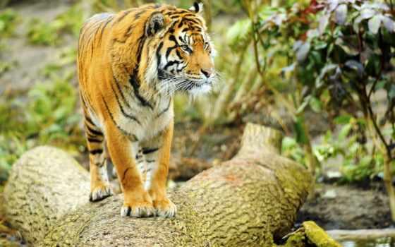 тигр, con, мб