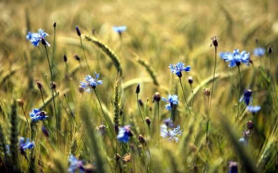 цветы, summer, поле