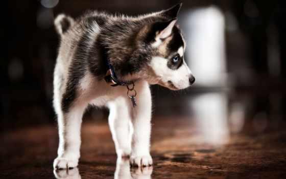 хаски, щенок, собака Фон № 96791 разрешение 2560x1600