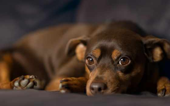 собак, zhivotnye, коричневая, объекты, собака, планом, крупным, пинчер, москве, нояб, dachshund,