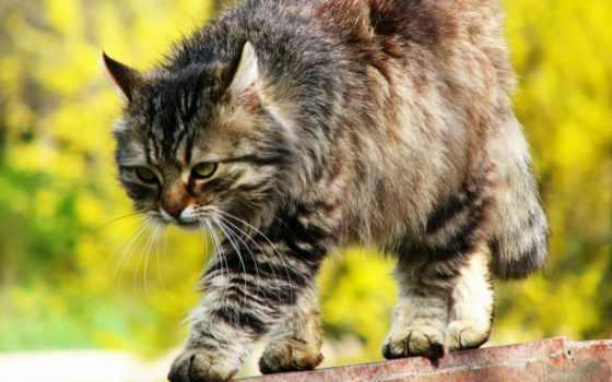 кот, сибирская, пушистая, крадется, узкому, забору, кошек,