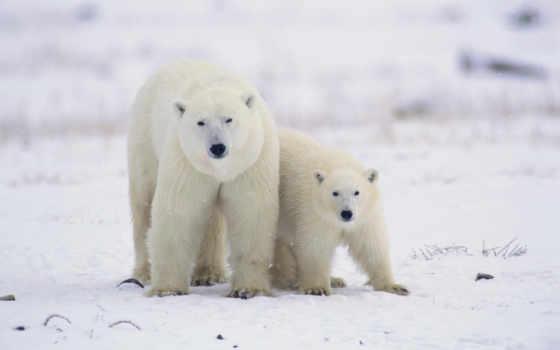 медведь, white, чему