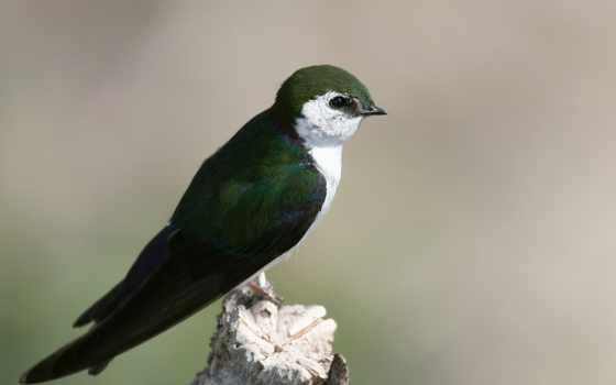 ласточка, птицы, птица, зелёная, яndex, ласточек, hirondelle, красивые, noire,