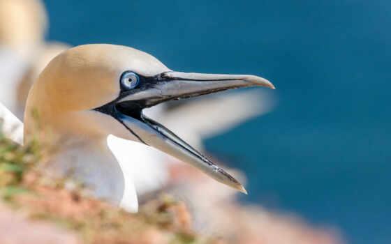 gannet, northern, animal, клюв, птица, голова, plan, большой