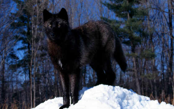 wolf, black, animals, wolves, galerie, snow, волки, homepage,