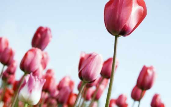 поле, тюльпанов, тюльпаны