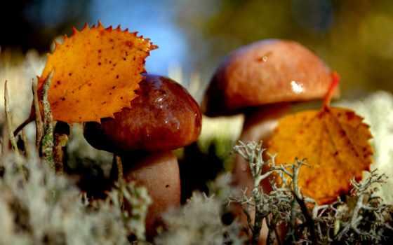 осень, грибы, природа, листва, макро,