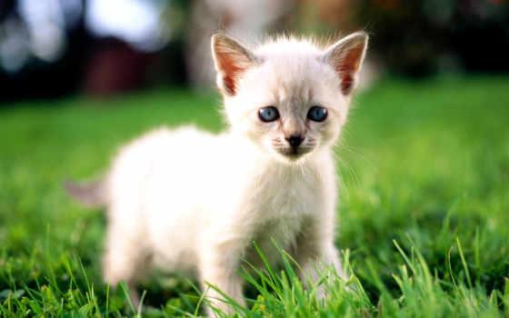 white, котенок, голубыми