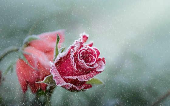 роза, снег, cvety, макро, красная