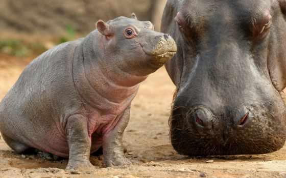 hippopotame, fonds, animaux, sur, ecran, baby, гиппопотам, фото, pinterest,