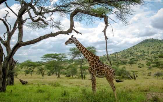 жираф, asker, sözleri