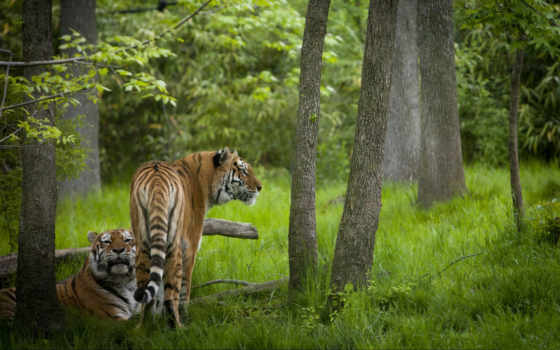 тигры, животные Фон № 19390 разрешение 1680x1050