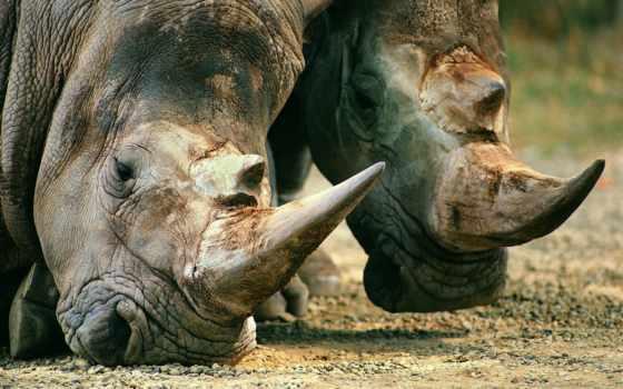 подборка, забавных, животных, животные, rhino, морда, красивая, кожа,