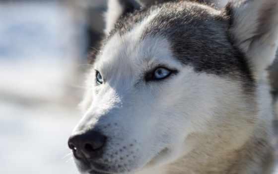 марта, husky