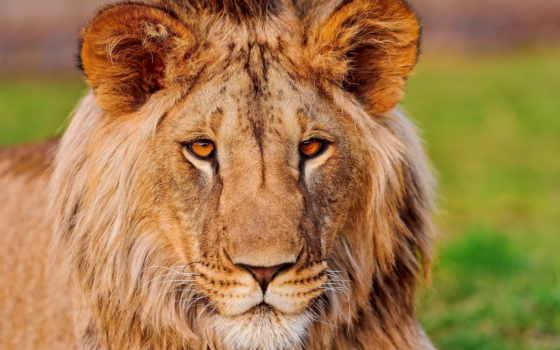 морда, lion, взгляд
