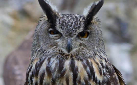 филин, сова, птица, голова, оперение, базе, высоком, качестве,
