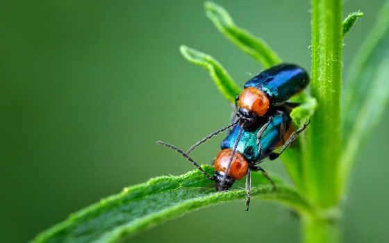 жуки, насекомые, pair, зелёный, стебель,